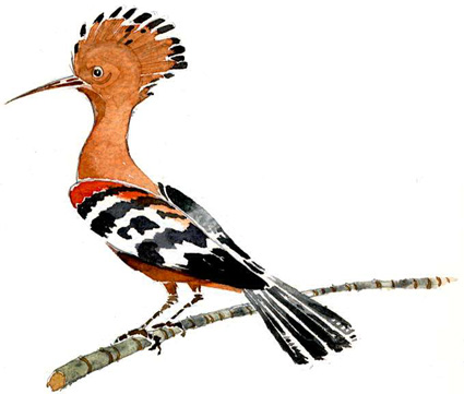 Eve Drawing Hoopoe Bird