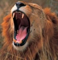 Ruaha-Tanzania-Safari-Lion-Mane