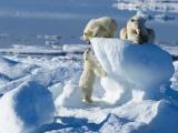 Arctic Cruises Polar Bears