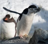 Antarctic Cruise penguins