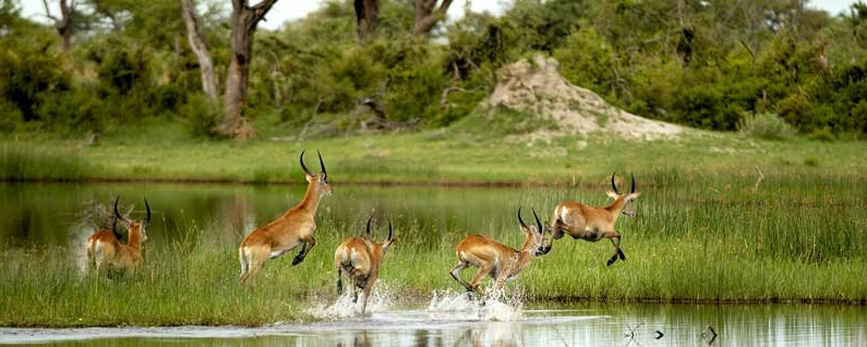 Lechwe in the Okavango Delta floodplains, Botswana