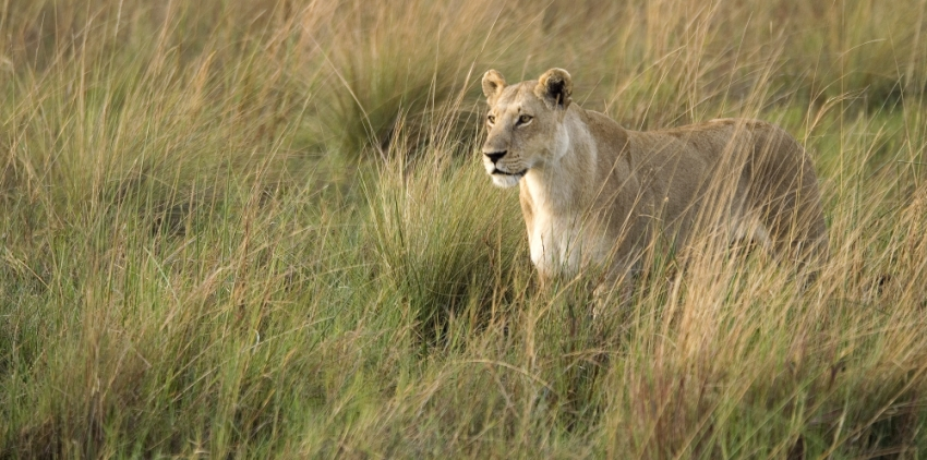 Lion in the Okavango, Botswana. Image credit: Wilderness Safaris