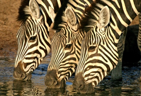 Botswana wildlife - Zebra trio at watering hole