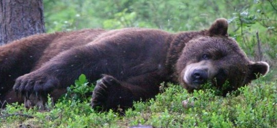Brown-bear-Finland
