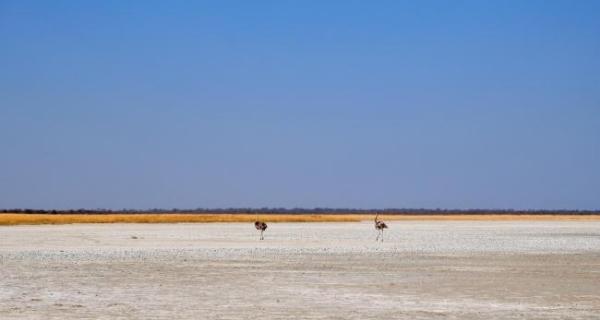 Ostrich in the Makgadikgadi Pans, Botswana
