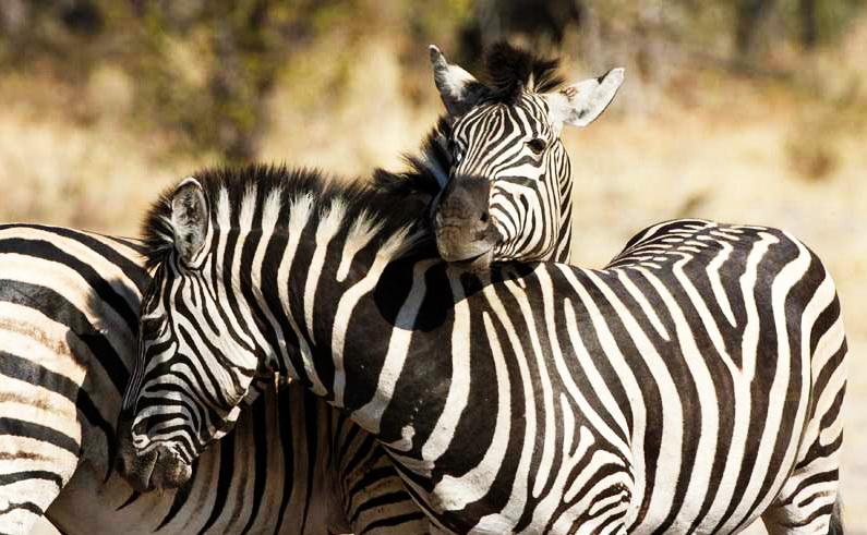 Zebra at Nxai Pan, Botswana