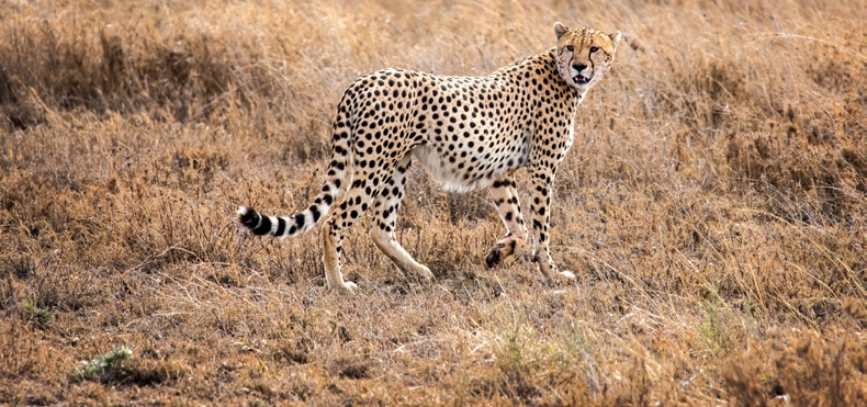 Cheetah in the Serengeti, Tanzania. Photo by Josephine Collingwood.