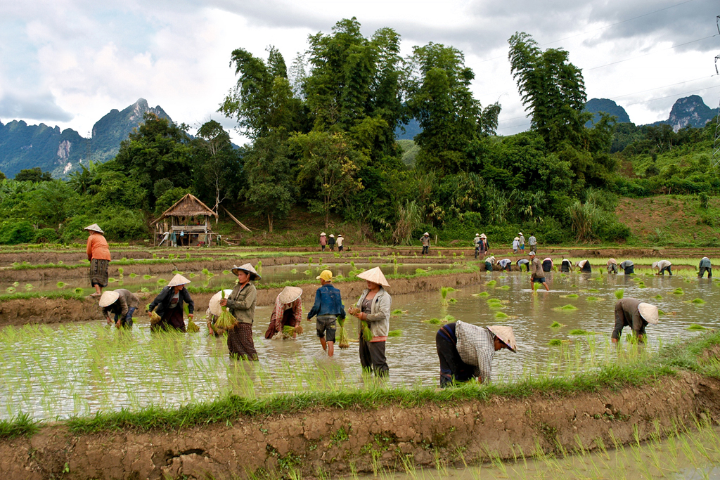 Trekking in Laos Paddy fields