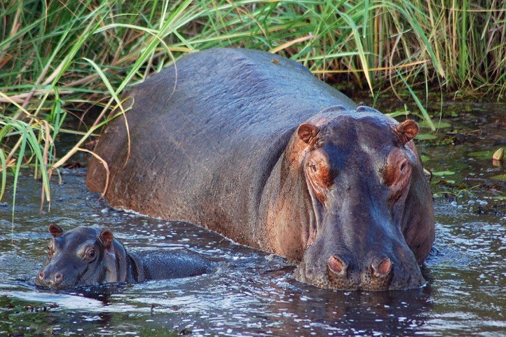 Wild hippo in the Okavango - by Randall and Sarah Ebersole
