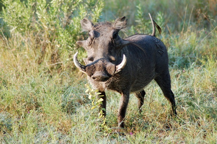 Warthog in Botswana - by Randall and Sarah Ebersole