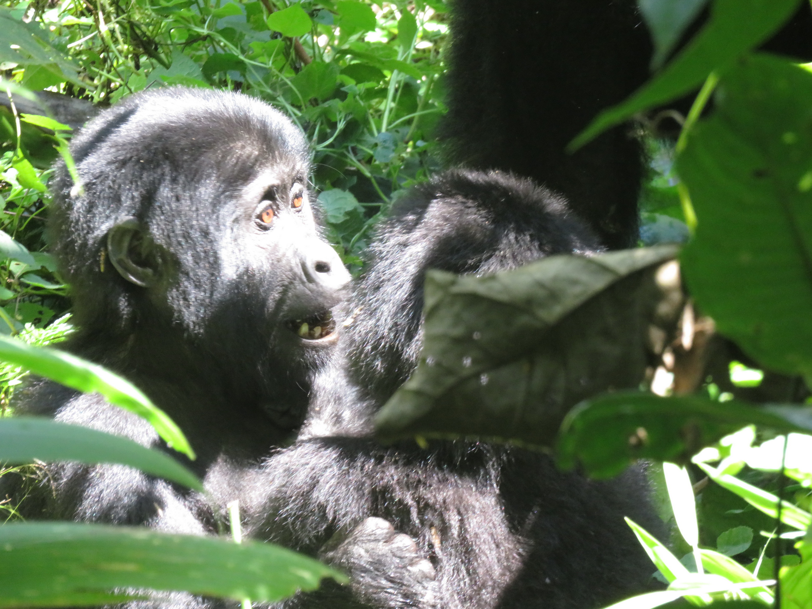 Gorilla safari in Uganda - by Vivienne Lewis