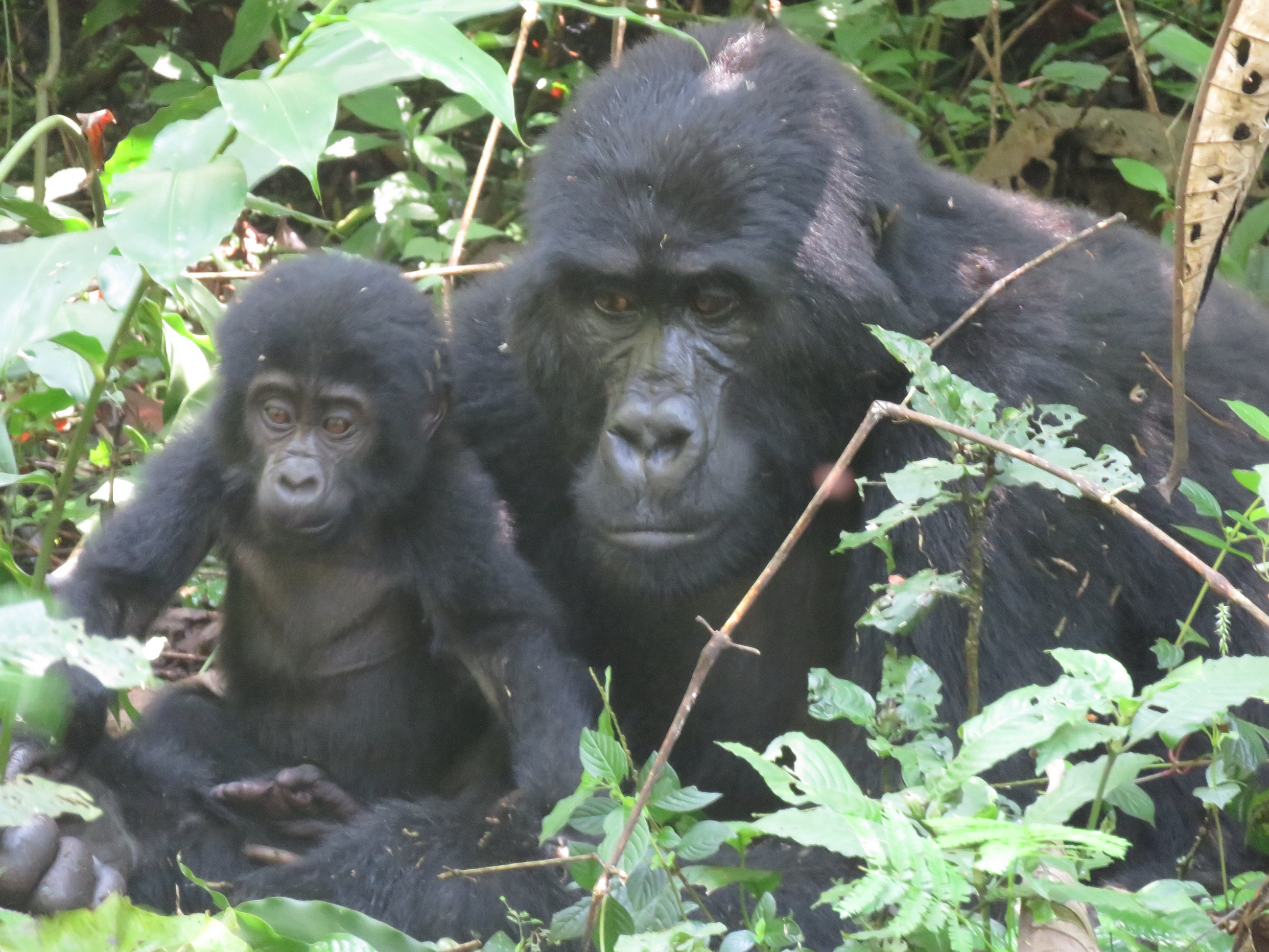 Gorilla safari in Uganda - by Vivenne Lewis
