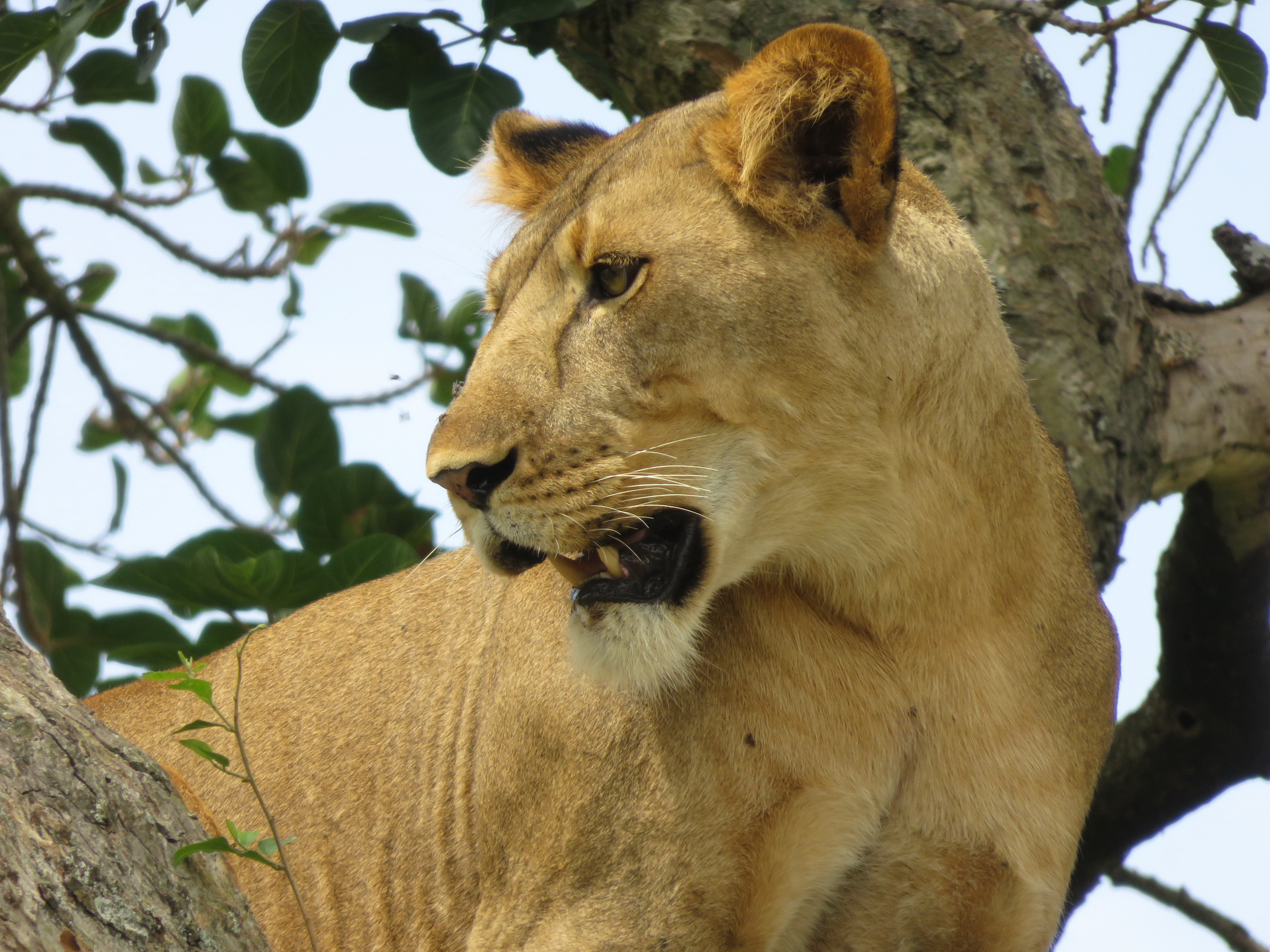 Marvellous tree-climbing lion photo - by Vivienne Lewis