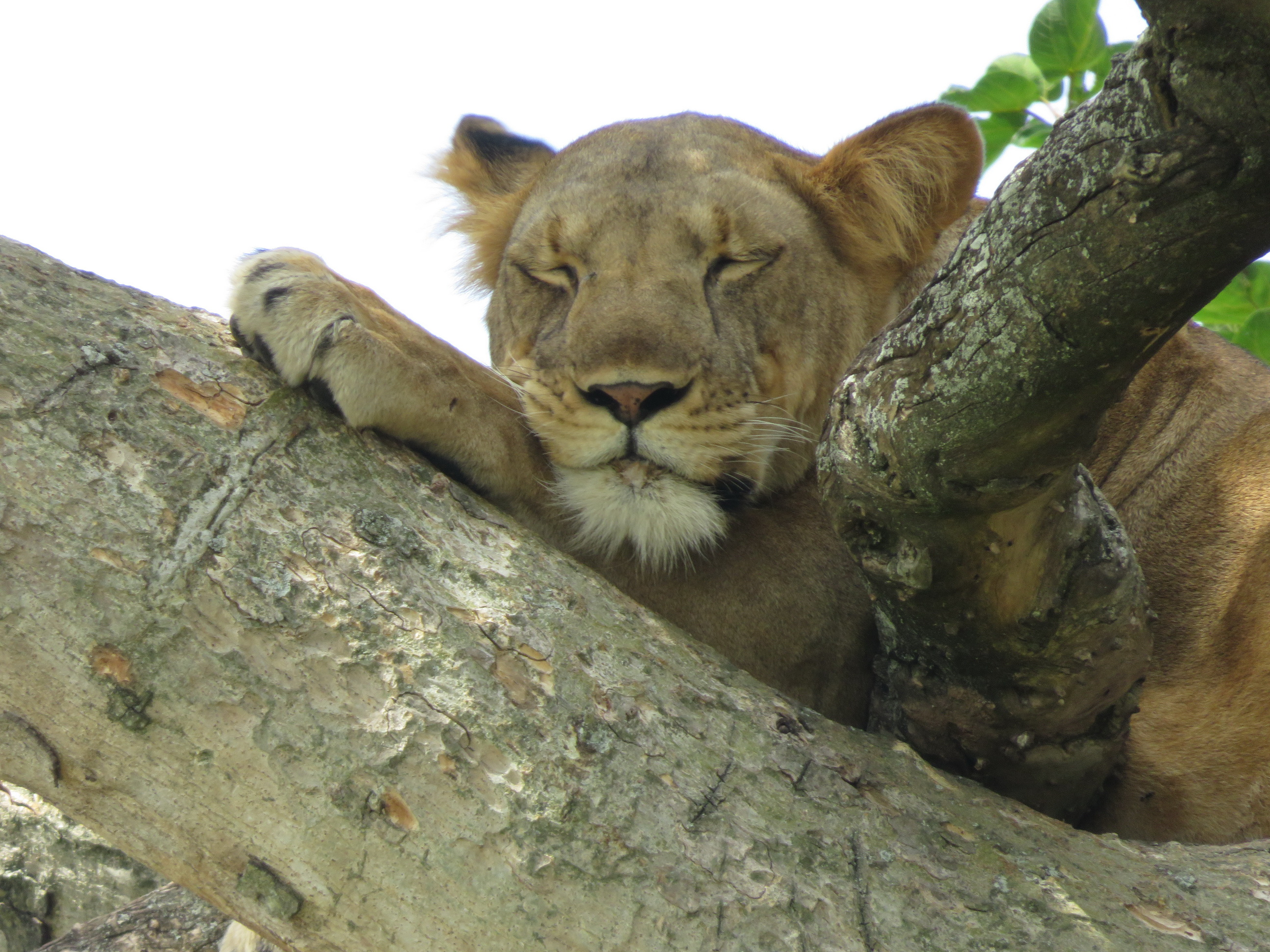Lioness in a tree in Uganda, by Vivienne Lewis