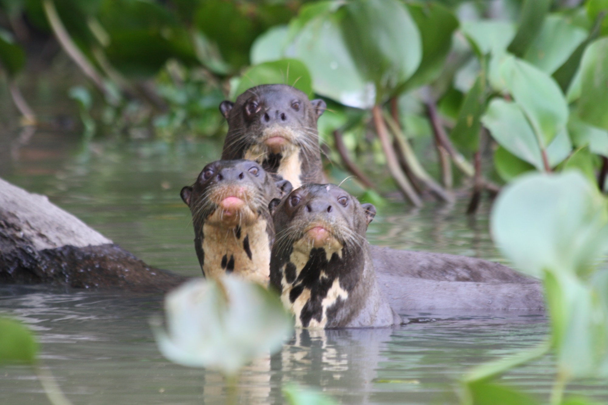 Otters in the Pantanal wetlands - by Gary West