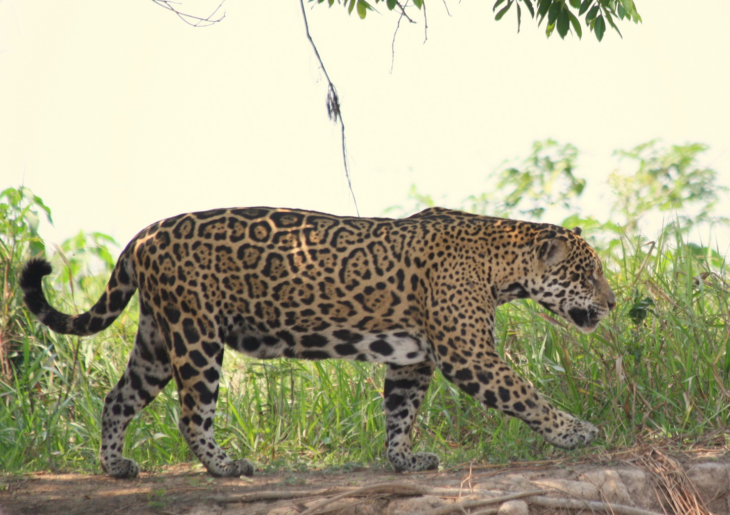 Gary West captured this wonderful leopard shot while on safari in Brazil