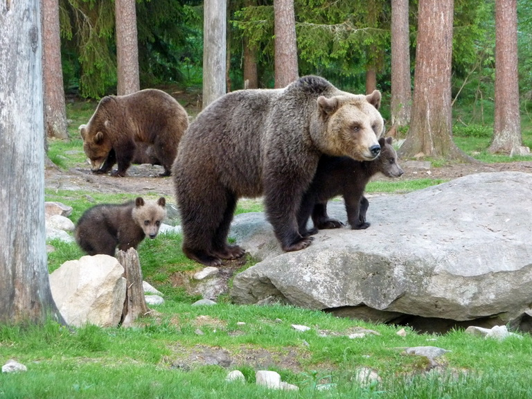 Finland brown bear safari