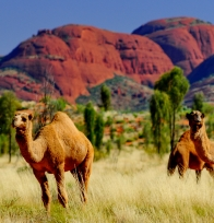 Camels in the Red Centre, Northern Australia