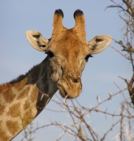Namibia photographic safari - giraffe