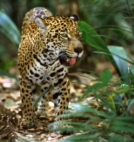 Brazil wildlife tours - jaguar