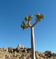 Namibia flora and fauna - aloe tree