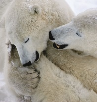 Polar bears embrace in Arctic Canada - Photo by Eric Rock