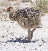 Namibia young ostrich