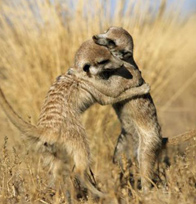 Meerkats in the Central Kalahari
