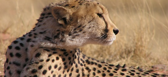 Namibia safari cheetah