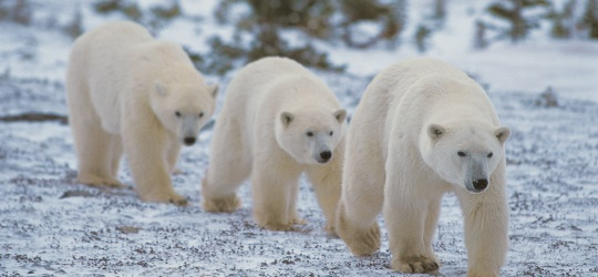 Polar bear trio in Arctic Canada - Photo by Steve Morello
