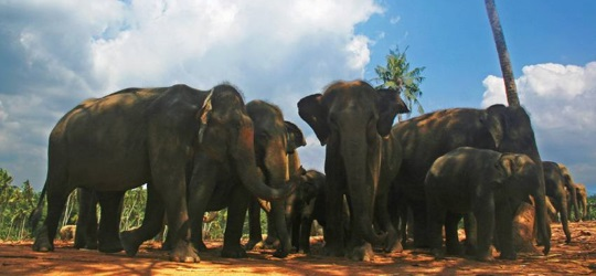 Sri Lankan elephants - tours and holidays