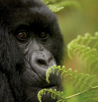 Gorilla in Bwindi National Park
